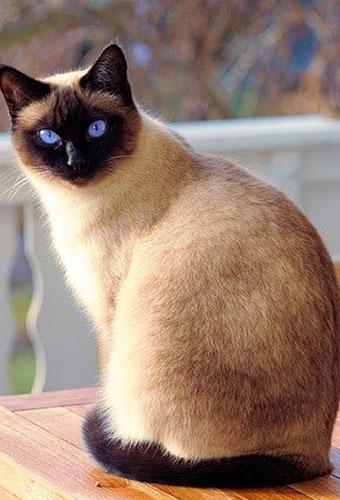 نژادهای گربه