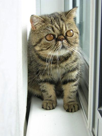 گربه پرشین مو کوتاه اگزوتیک