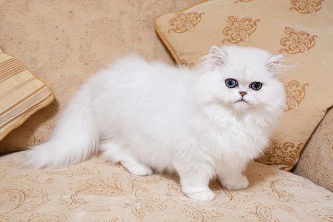گربه پرشین چینچیلا