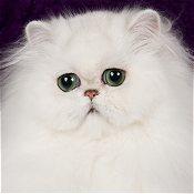 گربههای پرشینِ نقرهای و طلای