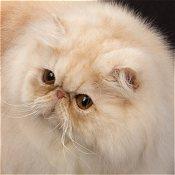 گربههای پرشین سایهدار و دودی