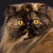 گربههای پرشین سه رنگ