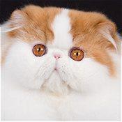 گربههای پرشین دو رنگ