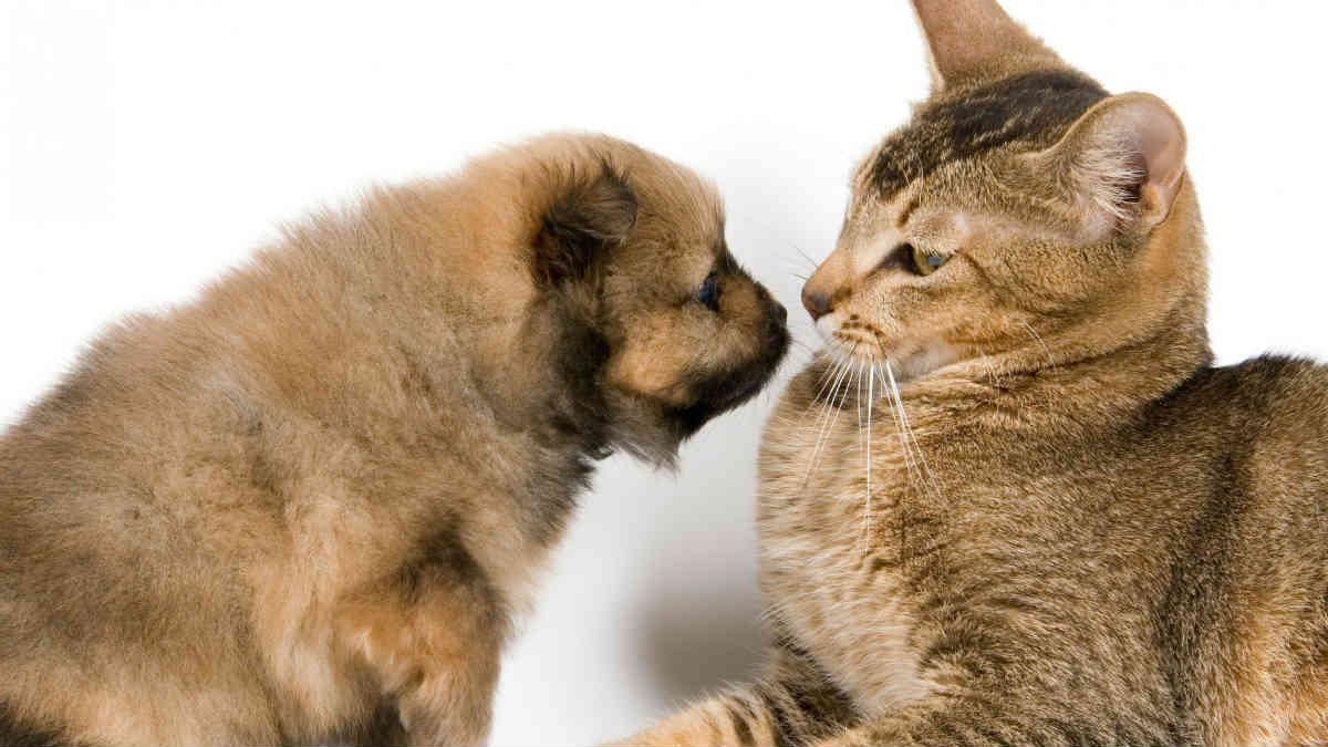 گربه بالغ و توله سگ