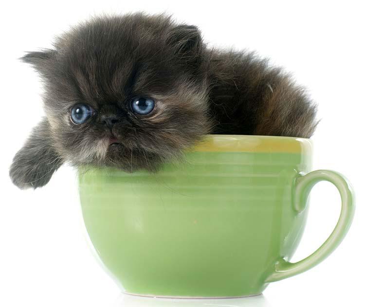 گربه پرشین فنجانی